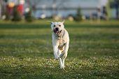 Yellow Labrador Retriever, Canis Lupus Familiaris, A Type Of Retriever-gun Dog, Running Towards Came poster