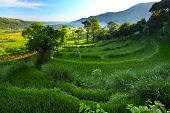 Valley with rice fields and trees in morning haze at sunrise light. Bali