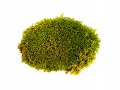 Tussock Green Moss Isolated Top View. Silvergreen Bryum Moss poster