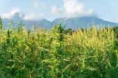 Close Up Photo Of Marijuana Plant At Outdoor Cannabis Farm Field. Hemp Plants Used For Cbd And Healt poster