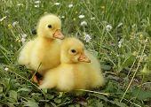 image of baby goose  - Two goose chicks goslings - JPG