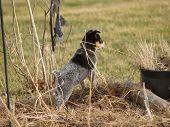 stock photo of heeler  - an austrailian blue heeler puppy keeps a watchful eye on his property - JPG