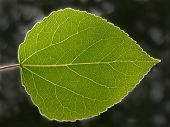 Transparent Aspen Leaf