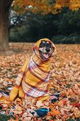Funny Cute Female Dog Wrapped In Woollen Blanket Sitting On Ground In Park Among Autumn Fall Yellow  poster
