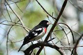 Rose-Breasted Grosbeak on a branch