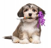 Cute Havanese Puppy With A New Years Eve Trumpet In His Mouth poster