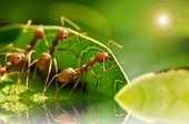 Red Ant Team Work
