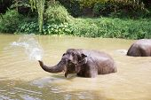 Baby Elephants Play In The Water With Fun Elephant Bath For Cooling poster