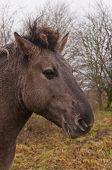 Portret van een paard Konik