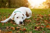 Dogo Argentino Lies On Grass In Autumn Park. Canine Background poster