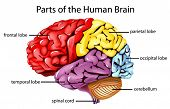 foto of frontal lobe  - Illustration of parts of the brain - JPG