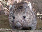 picture of wombat  - this is a close up of a young wombat climbing rocks - JPG