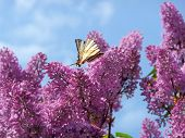 Swallowtail On The Lilac Bush