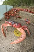 Red Crabs by Barrier in Christmas Island