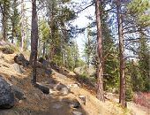 Ponderosa Pines Along Forest Trail