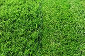 Green Fresh Grass. Partially Cut Grass Lawn. Difference Between Perfectly Mowed, Trimmed Garden Lawn poster