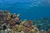 einsamer Halfterfisch auf einem hawaiian Riff