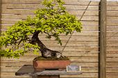 foto of pubescent  - Bonsai pubescent oak is a deciduous tree belonging to the family of Fagaceae - JPG