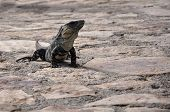 A iguana relaxes on stone