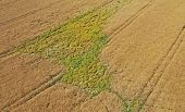 Aerial Drone Perspective View On Overgrowth Green Weeds On Yellow Wheat Field Making Big Problem And poster