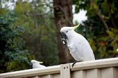 Sulphur-crested Cockatoo Seating On A Fence And Eating Piece Of Pasta. Urban Wildlife. Backyard Visi poster