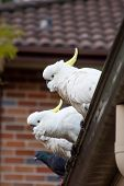 Sulphur-crested Cockatoos Seating On A Roof. Urban Wildlife. Australian Backyard Visitors poster