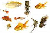 Peixes de aquário no fundo branco