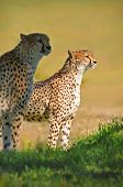 A pair of Cheetahs stand and oversee the savannah