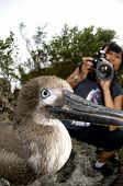 Close-up of Juvenile Red-footed Booby Being Photographed on Christmas Island