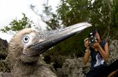 Juvenile Red-footed Booby with Long Beak Being Photographed on Christmas Island