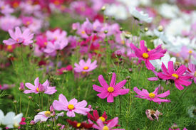 picture of cosmos flowers  - pink and white cosmos flowers in a field - JPG