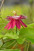 Passiflora Flower,lady Magaret Flower