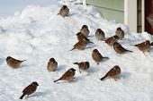 Flock Of Birds On Snow
