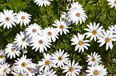 White gerbera daisies