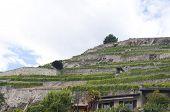 Vineyard Terraces in Saint-Saphorin, Switzerland