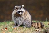 Raccoon in park in Montreal Canada