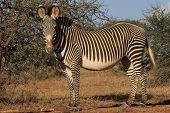 Grevy's Zebra, Kenya