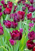 Purple Tulip Blossom In Field