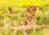 Photo of an African lion cubs , South Africa safari, Kruger National Park reserve, wildlife safari,
