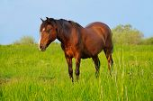 stock photo of feeding horse  - A horse standing in a field of grass - JPG