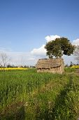 pic of mud-hut  - a straw hut in the with tree wheat and mustard fields in the agricultural state of the Punjab India - JPG