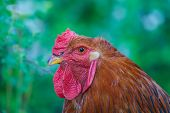 Beautiful Rooster On Nature Background