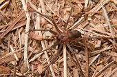 Closeup image of a Brown Recluse, Loxosceles reclusa, a venomous spider camouflaged on dry winter gr
