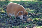Red River Hog Walking Through The Mud
