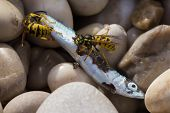 Closeup Of Two Wasps Eating A Fish