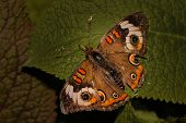 Brown and orange Buckeye butterfly