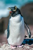 picture of hopper  - Highly detailed image of rockhopper penguin Argentina - JPG