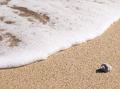 Sea Rapana