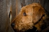 picture of peeping-tom  - Airedale terrier dog close up peeking through a knot hole in a wooden fence outdoors - JPG
