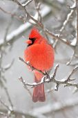 stock photo of cardinal-bird  - Male Northern Cardinal (cardinalis cardinalis) on a branch in a snow storm